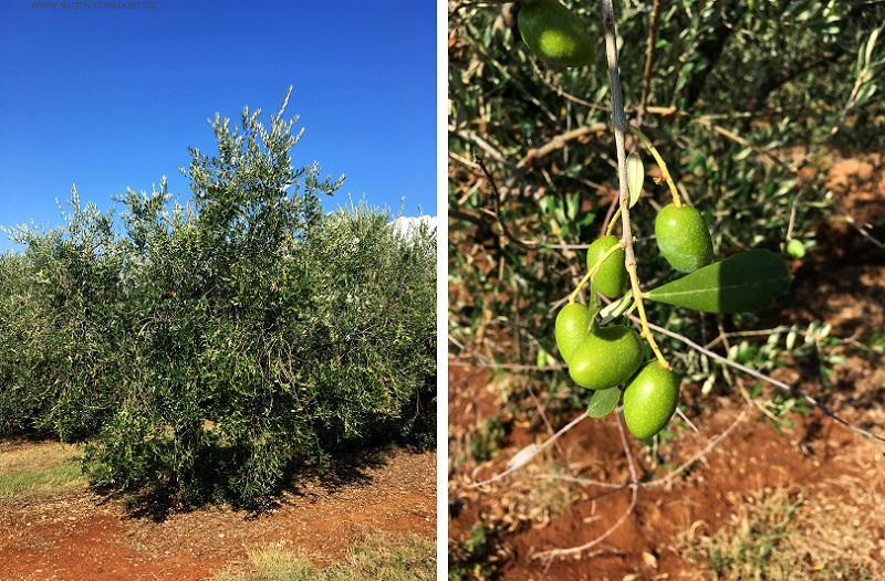 Navia - olivový krém pro zralou pleť